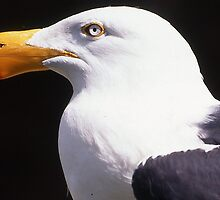 Pacific Gull in breeding plumage by Peter  Tonelli