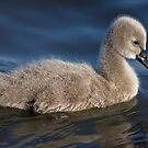Cygnet by Mary Broome