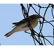 A Bird in the ....Net? Photographic Print