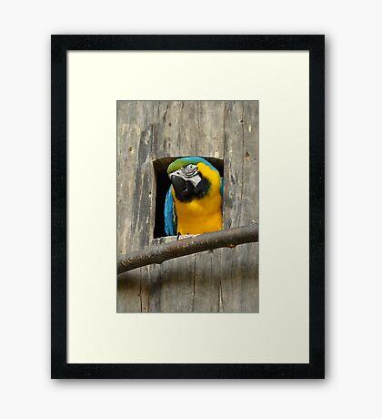 Cuckoo! Framed Print