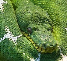 Green Python by franceslewis