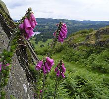 Foxgloves in the foothills by James Hennman