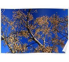 Fruit of the White Cedar Tree Poster