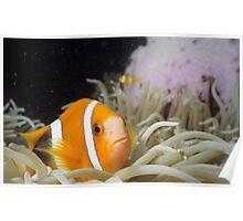 Clownfish Macro Poster