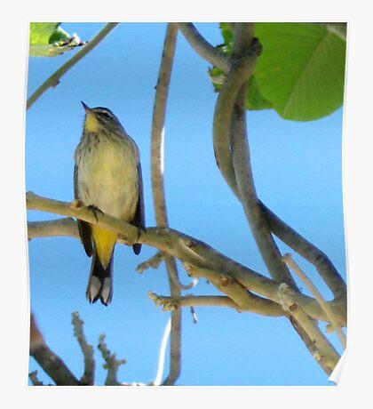 Small Cuba bird Poster