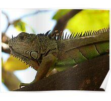 iguana I  Poster