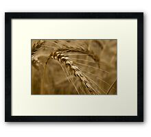 Wheat stalk. Framed Print