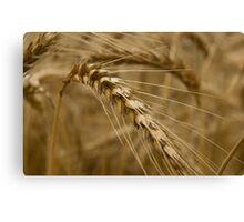 Wheat stalk. Canvas Print