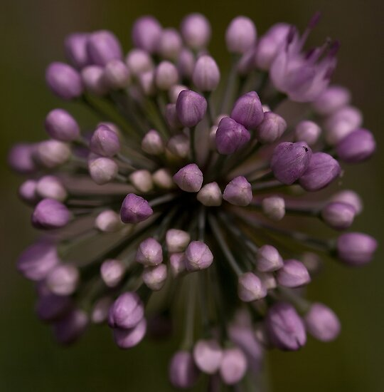 Allium by Holly Cawfield