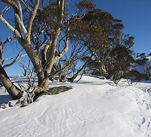 Snow Gums by ailsamarshall