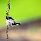 Pretty little long tailed tit by missmoneypenny