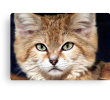 Arabian Sand Cat! Canvas Print