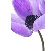 Anemone (mauve) Photographic Print