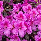 Pink Azaleas  by PhotosByHealy