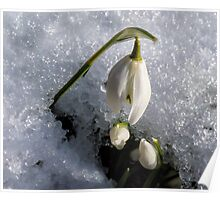 Snowdrops in the Snow Poster