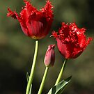 Red Frilly Tulips by Bev Pascoe