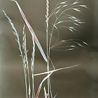 Photogram of wild grasses by Paul Woloschuk