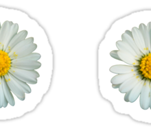 Six white daisies Sticker