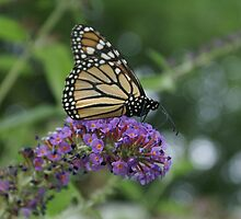 Monarch Butterfly by Christine King