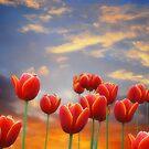 Tulip Sunset by Christine Lake