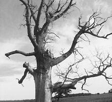 deadwood tree  by cromerpaul