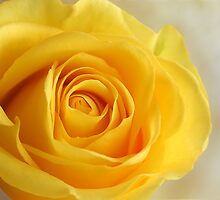 Yellow Folds of a Rose by Sheryl Kasper