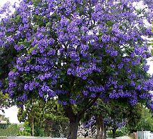 Jacaranda, Princes Way Drouin by Bev Pascoe