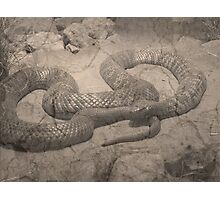 Aged Collett's Snake (pseuduchis colletti) Photographic Print