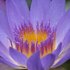 Purple Water Lily by NatureGreeting Cards ccwri