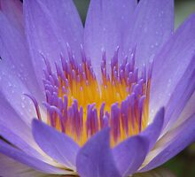 Purple Water Lily by NatureGreeting Cards ©ccwri