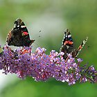 Red Admiral Pair On Buddleia by Colin S Pearson