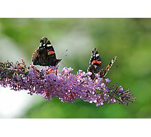 Red Admiral Pair On Buddleia Photographic Print