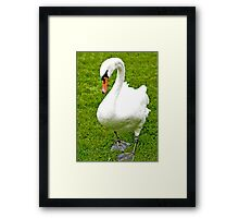 Once An Ugly Duckling Framed Print