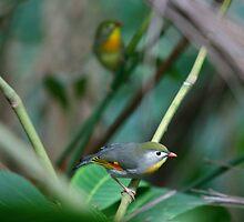 Pekin Robins II by CherilynJoy
