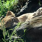 LAZY LIONESS by Tracy King