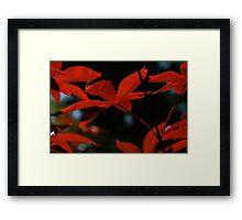 Red Maple Framed Print