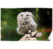 Baby Screech-owl (That cute look) Poster