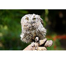 Baby Screech-owl (That cute look) Photographic Print