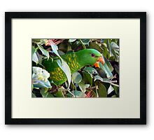 Scaly Breasted Lorikeets Framed Print