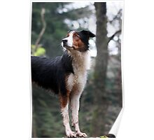 Tricolor Collie Poster