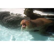 Walrus Yawn Photographic Print