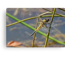 Resting Female Chaser. Canvas Print