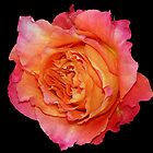 Rose by Dipali S