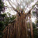 The Curtain Fig Tree Yungaburra, Australia by PeaceM
