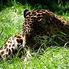 jaguar by cromerpaul