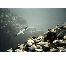 Gannets Photographic Print