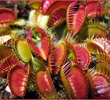 Fang Freeding Time - Venus Fly Trap - ( Doinaea Muscipula ) by Waterl00