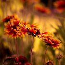 Gaillardia Dreams by Renee Dawson