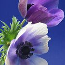 Anemone Pair by picketty