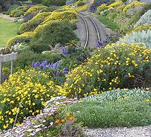 daisies along the Penguin railway line by gaylene